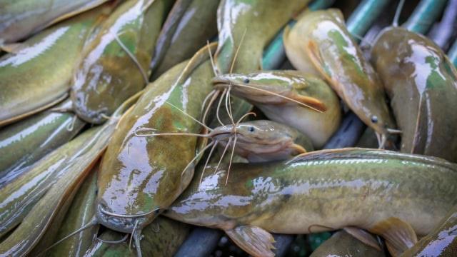 Doyan Pecel Lele? Ternyata Bisnis Budidaya Ikan Lele Berikan